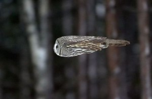 Owlinflight